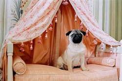 Pug dog sitting on dog bed with draped tapestry