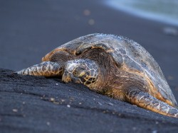 Turtle laying on black volcanic sand beach